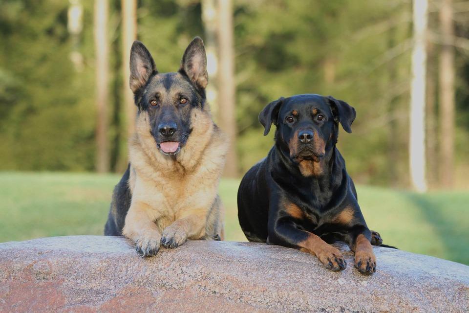 dvejetainiai variantai sarginiai šunys